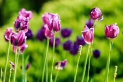 Tulipani-